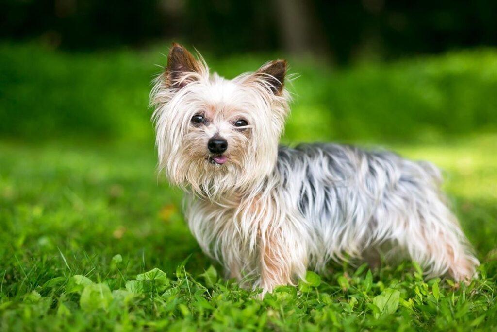 Maceracı Yorkshire Terrier Köpeği